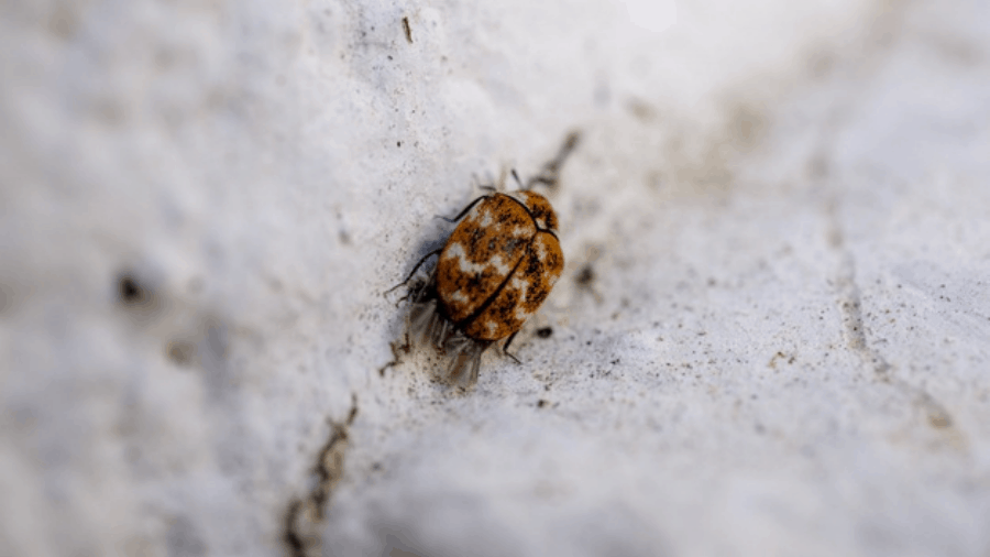 Where Do Carpet Beetles Come From