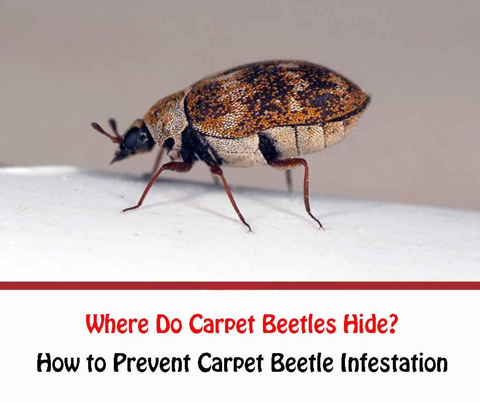 Where Do Carpet Beetles Hide