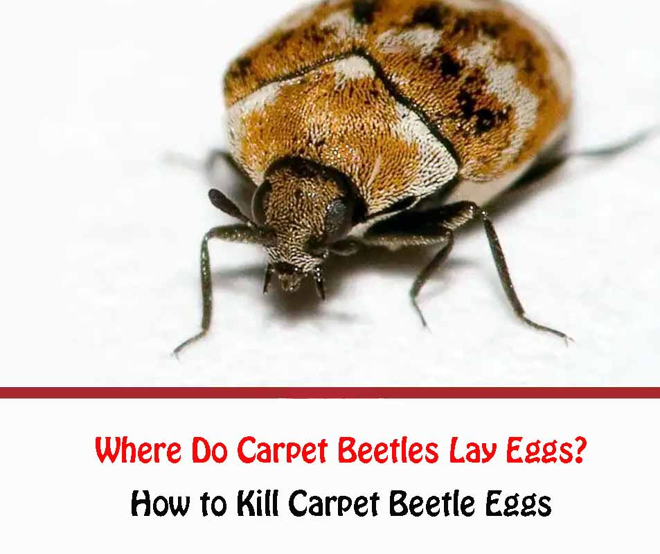 Where do carpet beetles lay eggs?