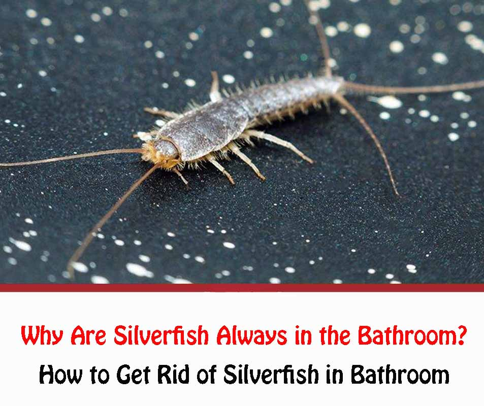 Why Are Silverfish Always in the Bathroom