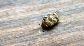 How to Get Rid of Carpet Beetles In The Bathroom