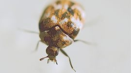 How To Get Rid Of Carpet Beetles On Walls