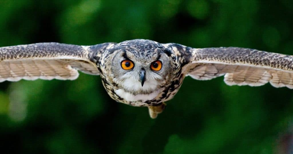 owl that can attack mice