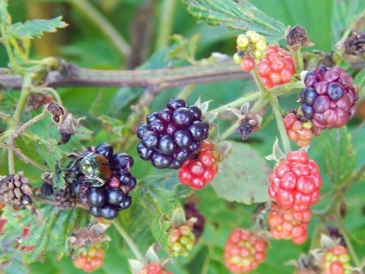 Are blackberry worms dangerous
