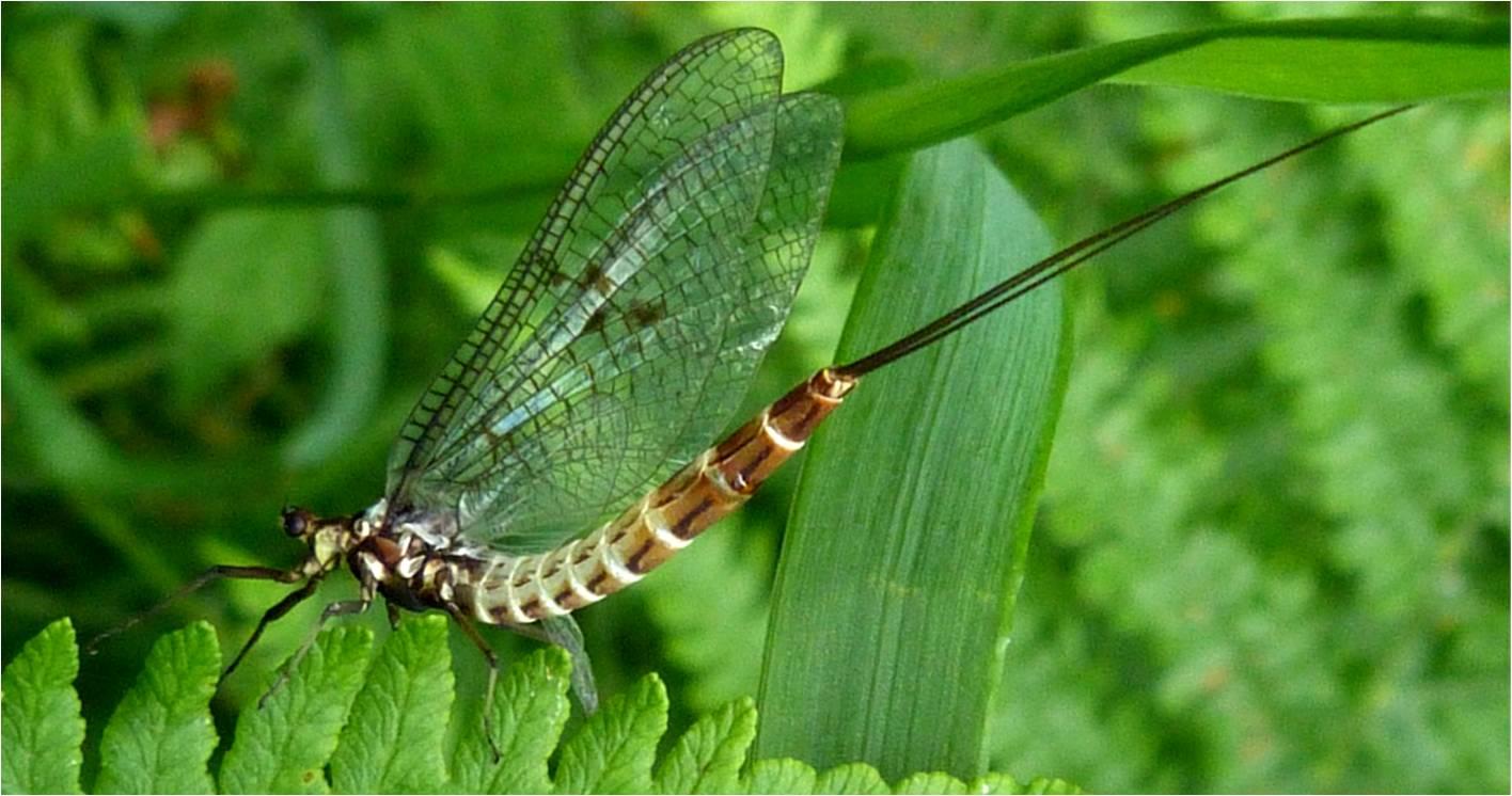 Are mayflies dangerous