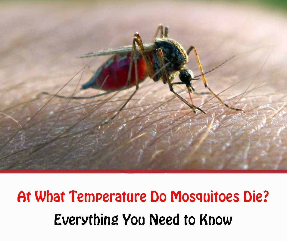 At What Temperature Do Mosquitoes Die 2021
