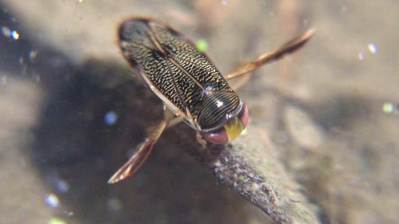 Can water boatmen fly