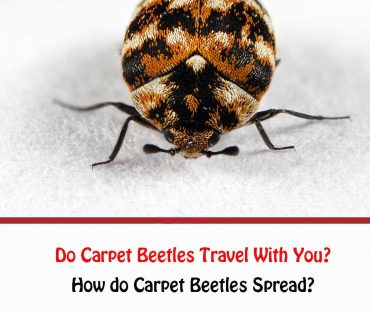 Do Carpet Beetles Travel With You?