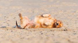 What Kills Sand Fleas On Dogs?