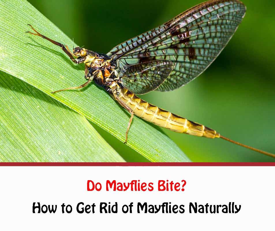 Do Mayflies Bite