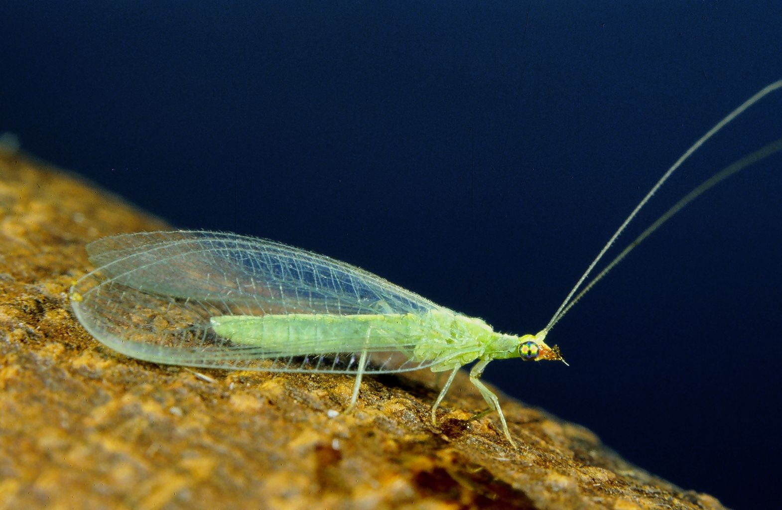 Do green lacewings bite humans?