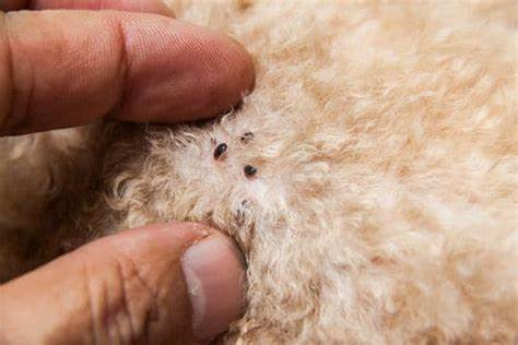 Do sand fleas burrow - Image By fleabites
