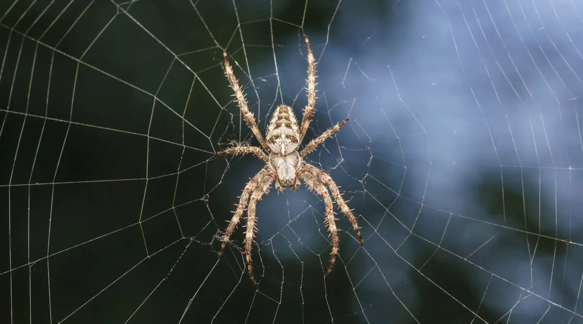 Do spiders die in the winter?