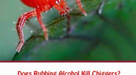 Does Rubbing Alcohol Kill Chiggers?