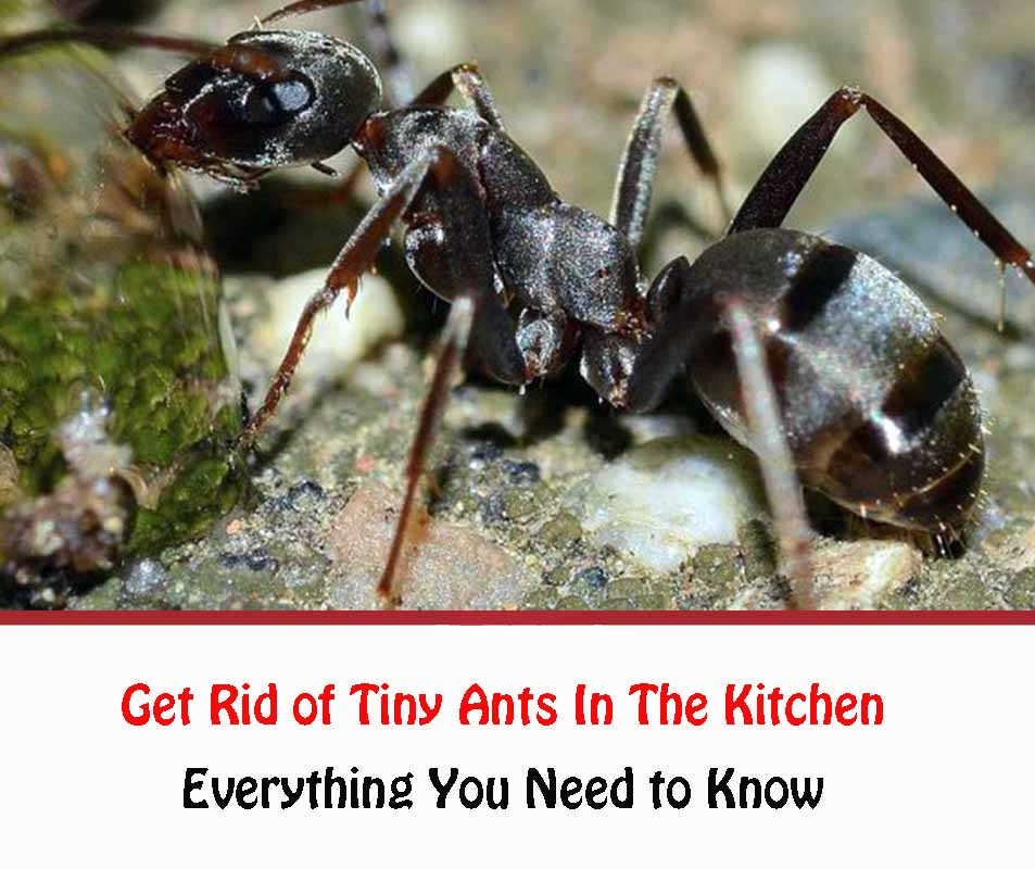 How to Get Rid of Tiny Ants In The Kitchen