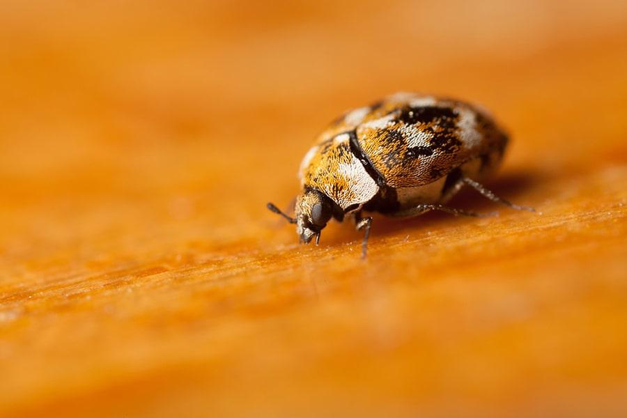 How Do Carpet Beetles Spread 2021