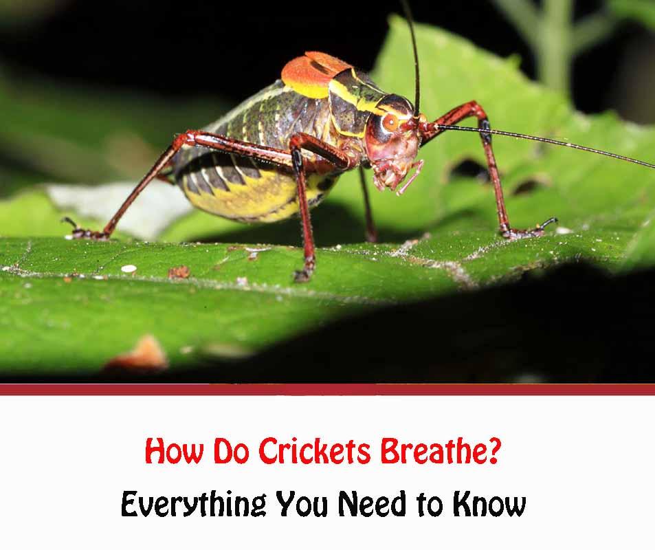 How Do Crickets Breathe 2021