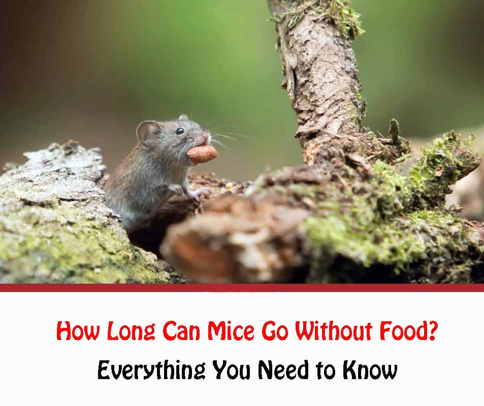 How Long Can Mice Go Without Food