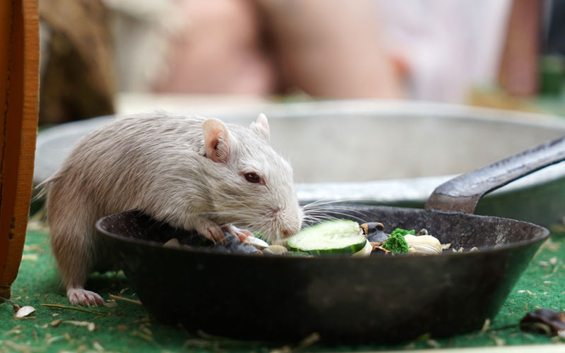 How Long Can Mice Go Without Water - Image By pet-mice