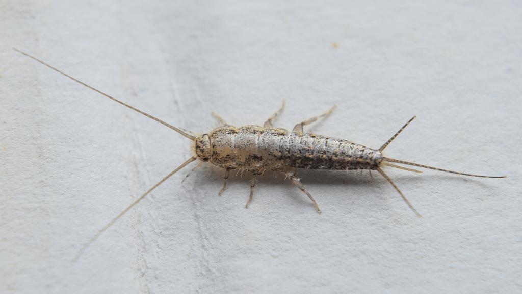 How To Get Rid Of A Silverfish Infestation Naturally