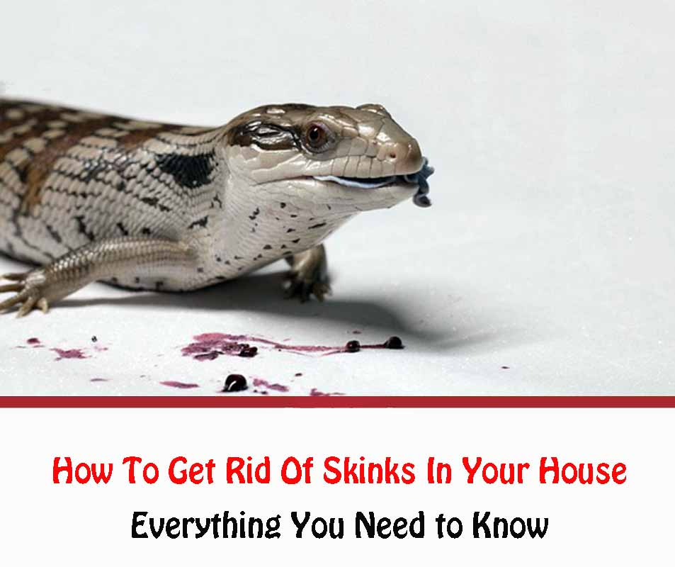 How To Get Rid Of Skinks In Your House