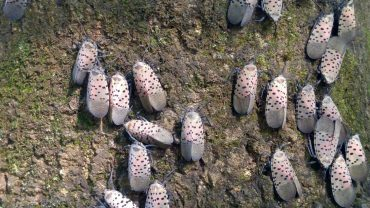 What kills Spotted Lanternflies?