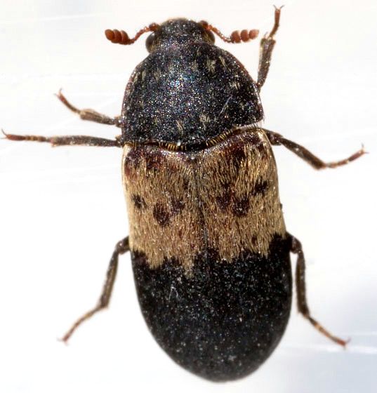 How to Eliminate house beetles Naturally