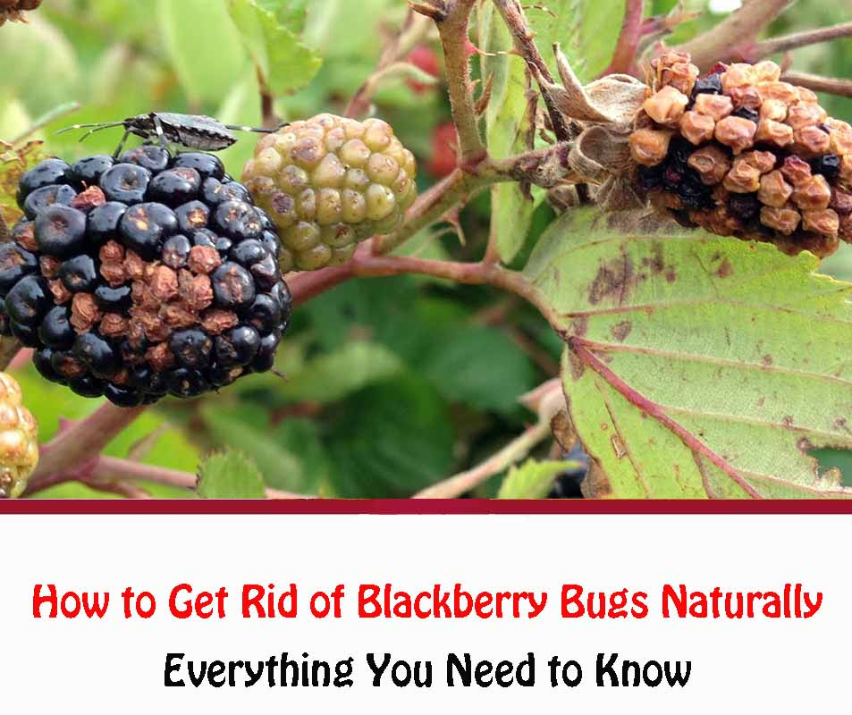 How to Get Rid of Blackberry Bugs Naturally