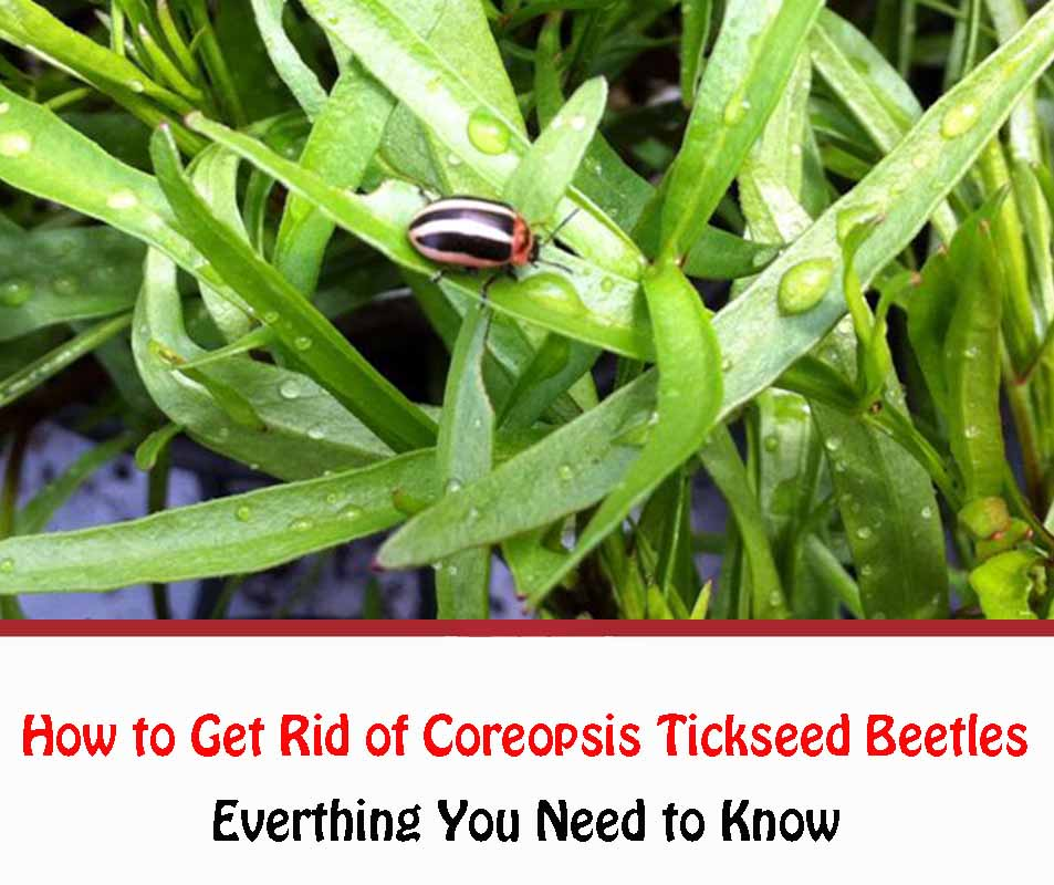 How to Get Rid of Coreopsis Tickseed Beetles Naturally