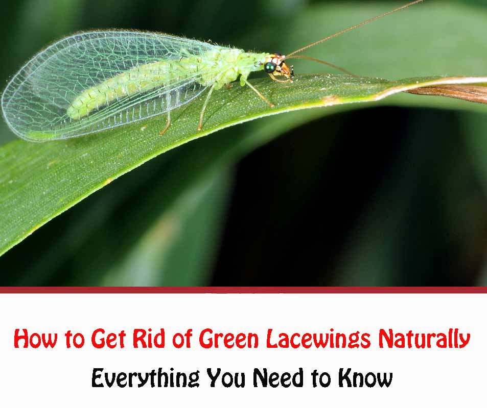 How to Get Rid of Green Lacewings Naturally
