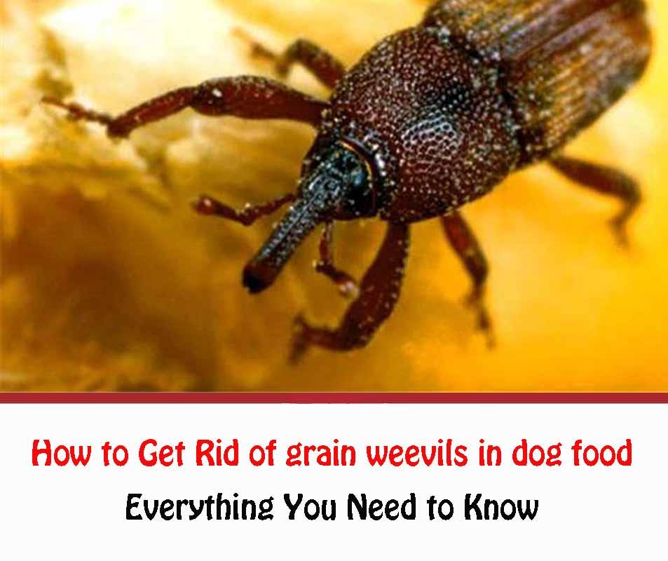How to Get Rid of grain weevils in dog food
