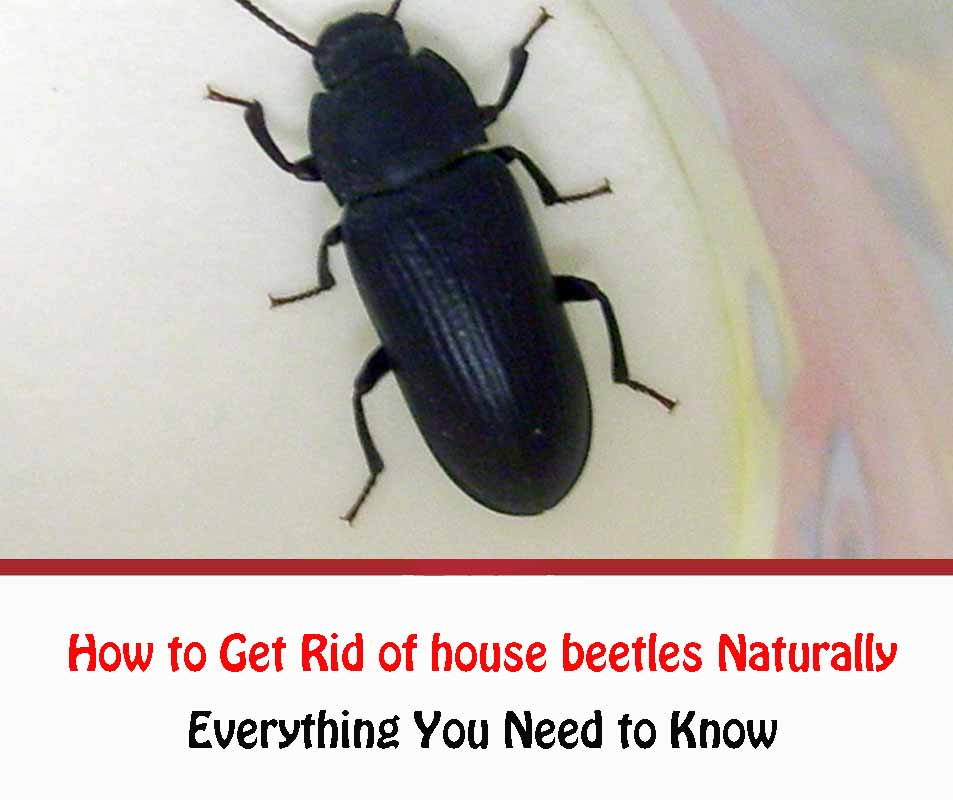 How to Get Rid of house beetles Naturally