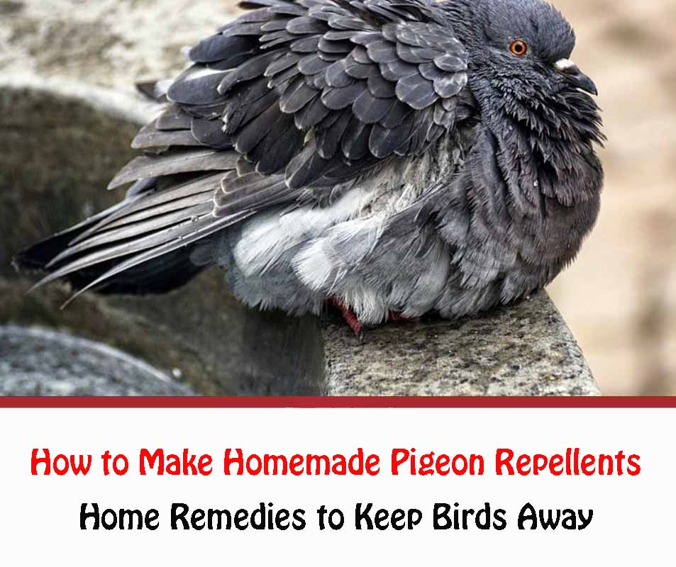 How to Make Homemade Pigeon Repellents