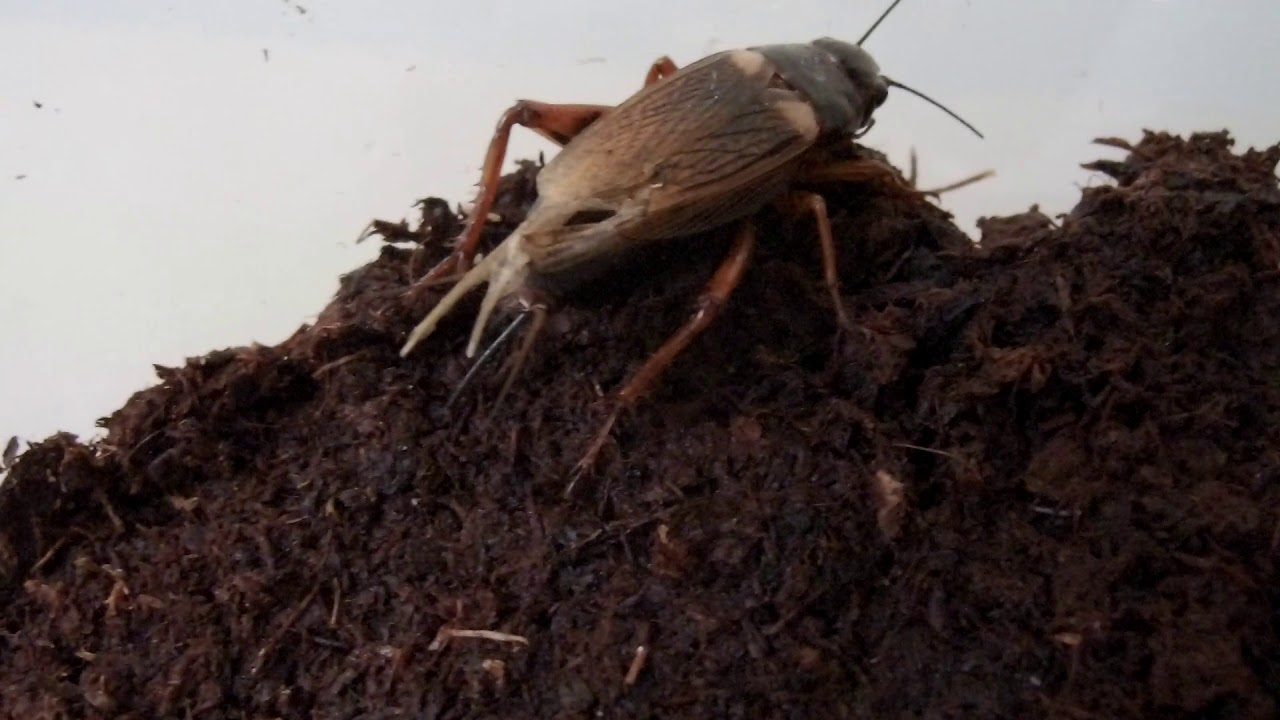 Lifecycle of Crickets