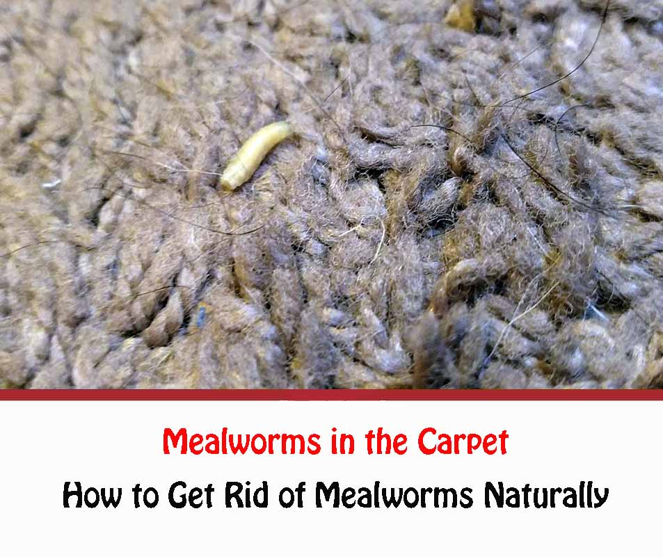 Mealworms in the Carpet