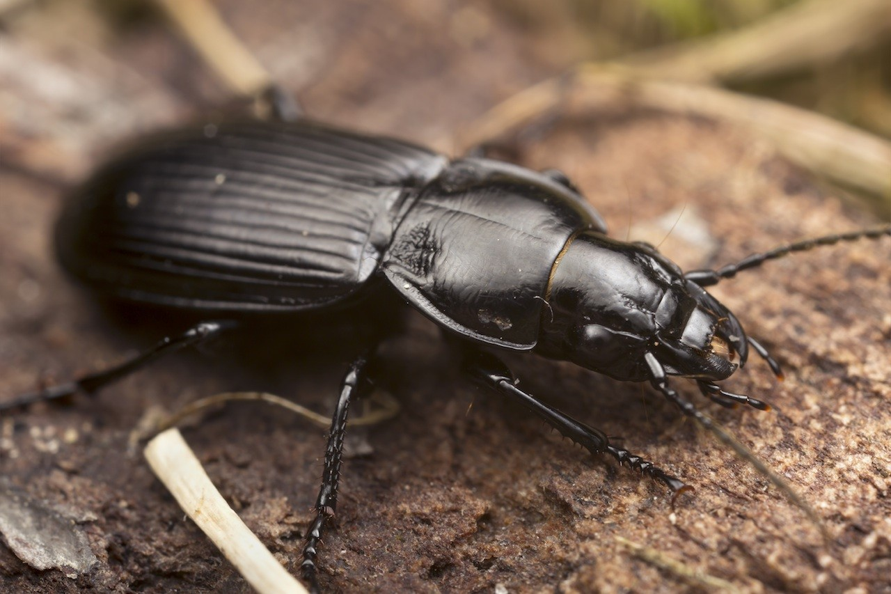 Types of Common House Beetles