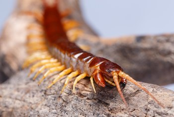 What Are Centipedes