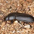 What Are Darkling Beetles
