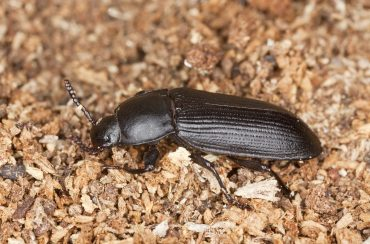 How to get rid of Darkling Beetles Naturally