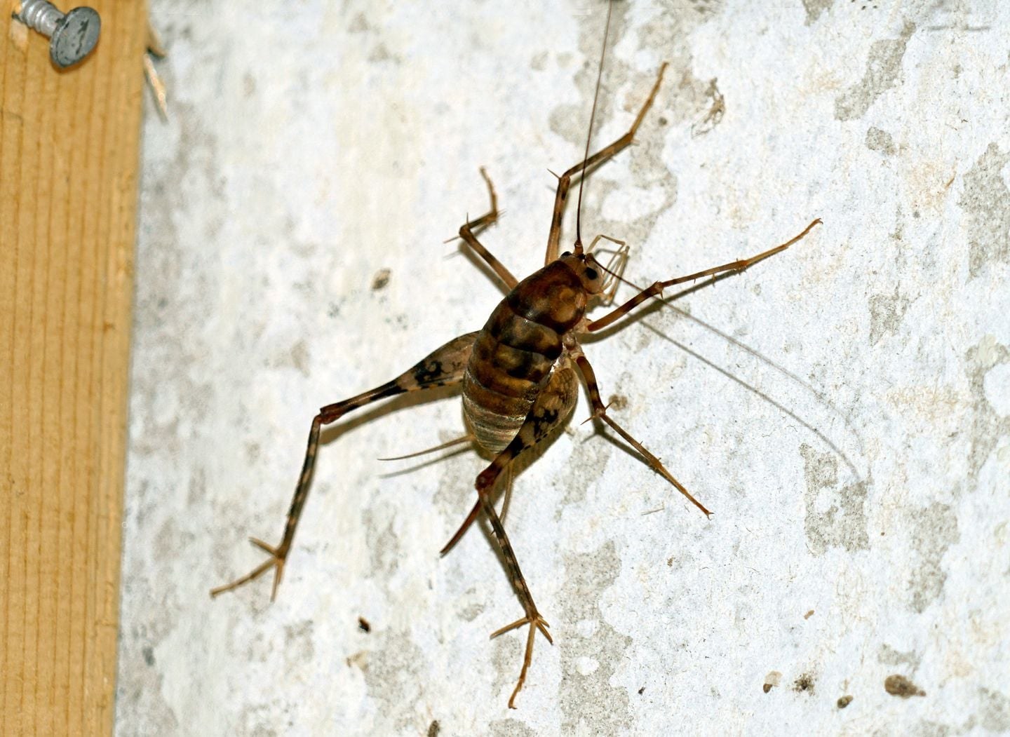 What Are Spider Crickets - Image By The Washington Post