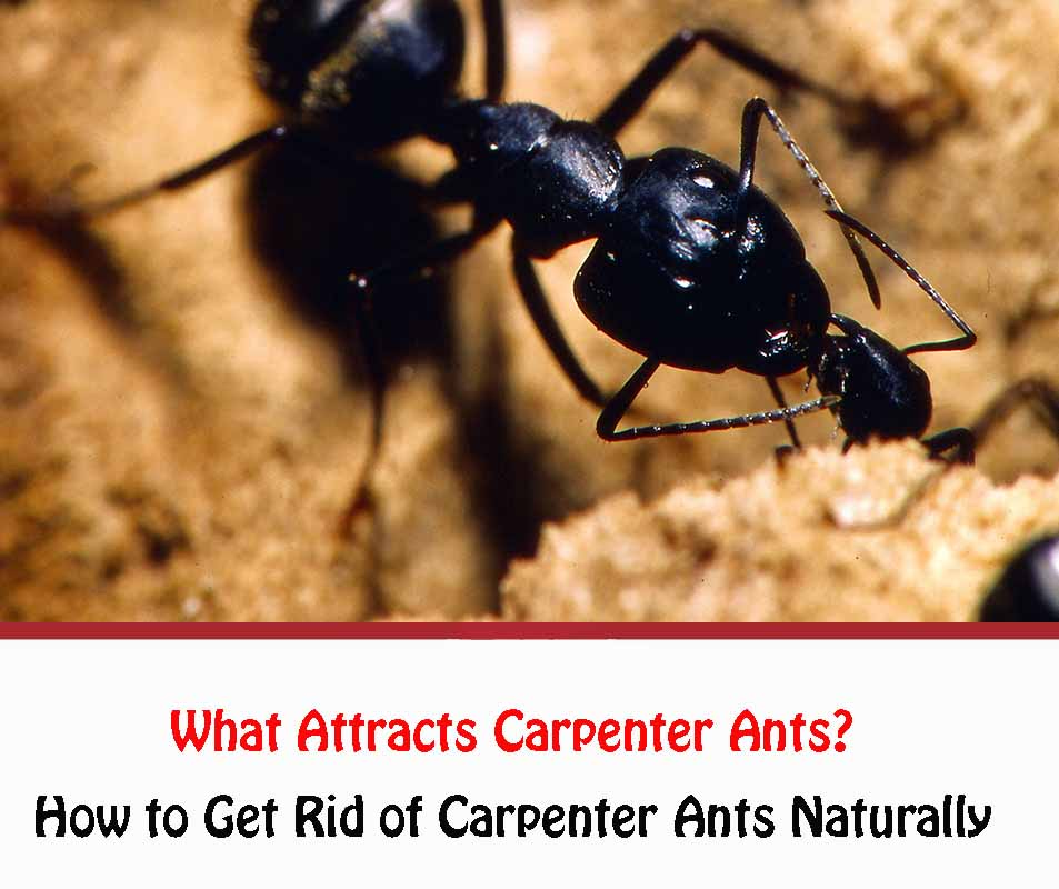 What Attracts Carpenter Ants