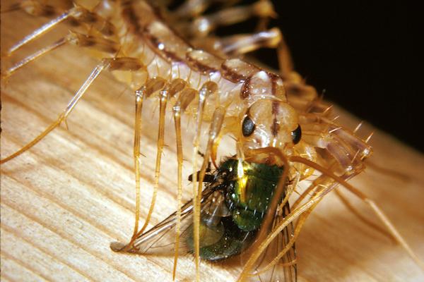 What Do Centipedes Eat in the Garden