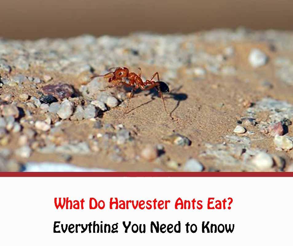 What Do Harvester Ants Eat
