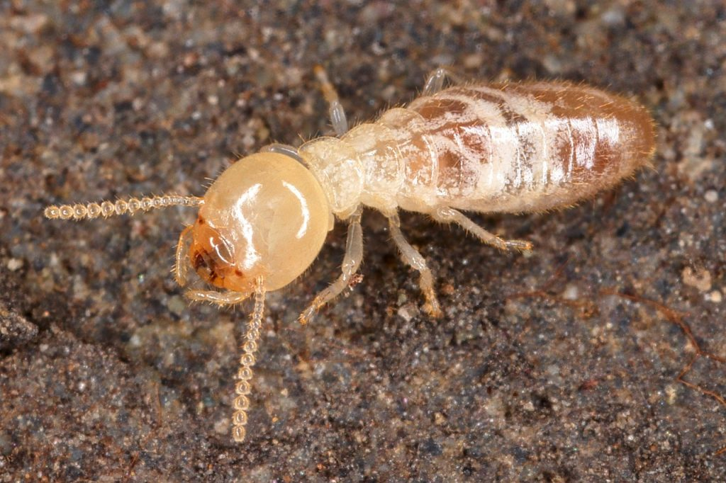 What Is The Main Reason For Termites To Follow The Ink - Image By sciencenotes