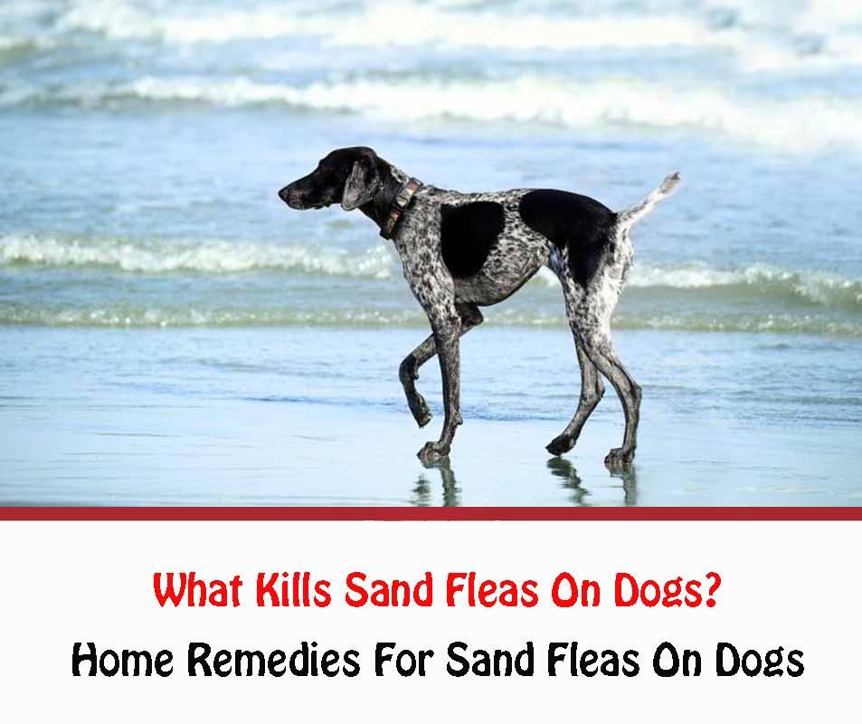 What Kills Sand Fleas On Dogs