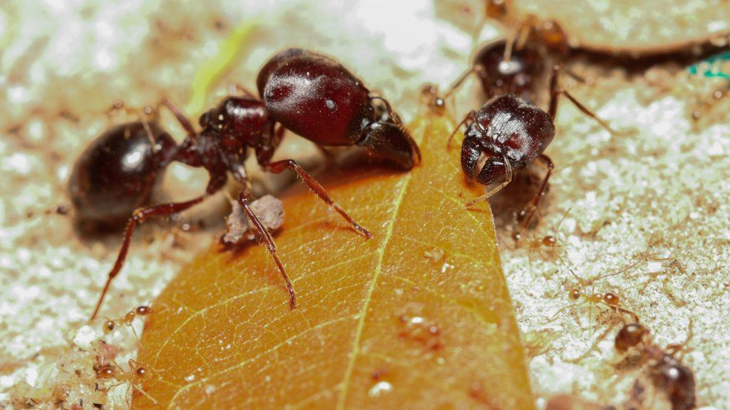 What Kind of Seeds Do Harvester Ants Eat