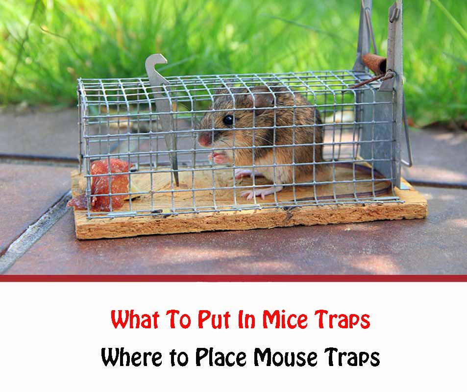 What To Put In Mice Traps