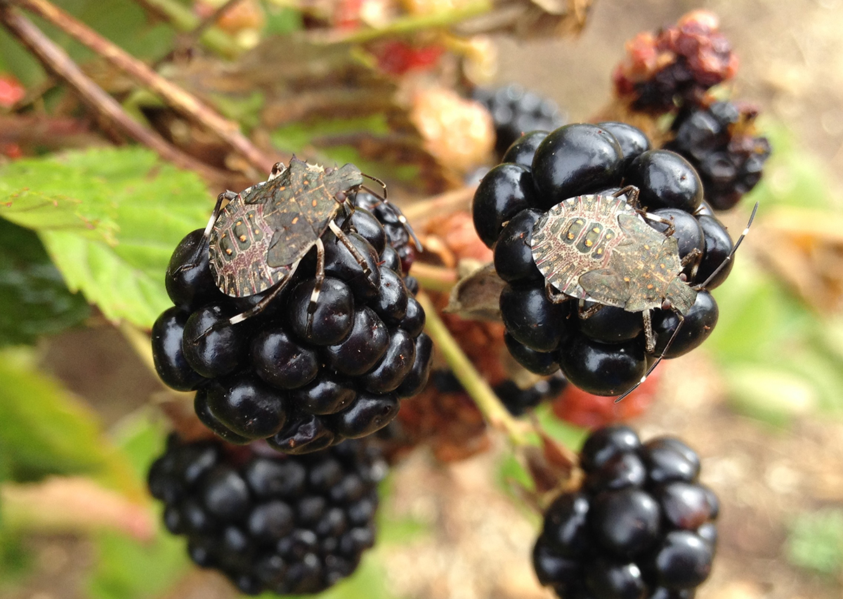 What are the small worms on Blackberries