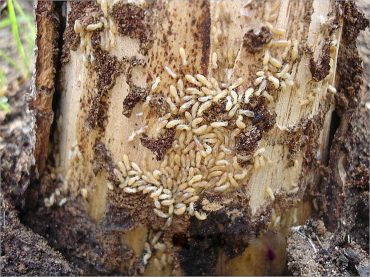 How to Get Rid of Termites In Trees Naturally