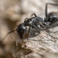 When Do Carpenter Ants Breed